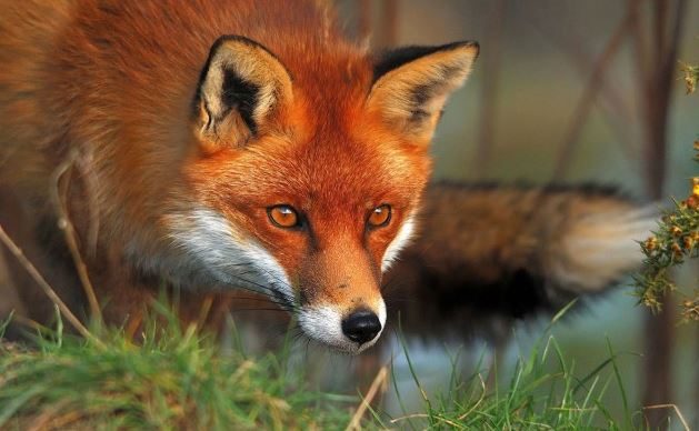 Cepljenje lisic proti steklini